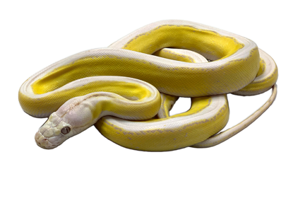Picture of Male Motley Platinum Purple Albino Tiger Reticulated Python